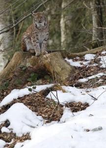 Photographier la neige Lynx - Thierry Cheriot