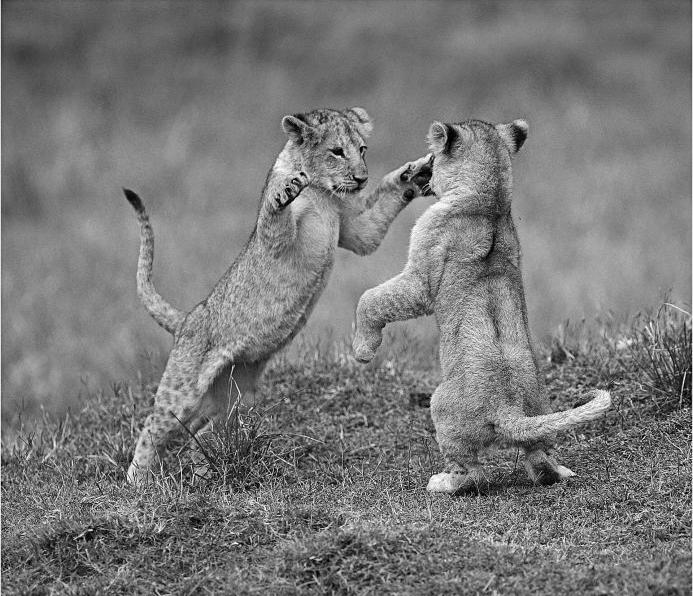 Jeux de lionceaux