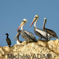 adam-daniele-7_pelicans