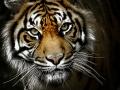 Tiger-c
